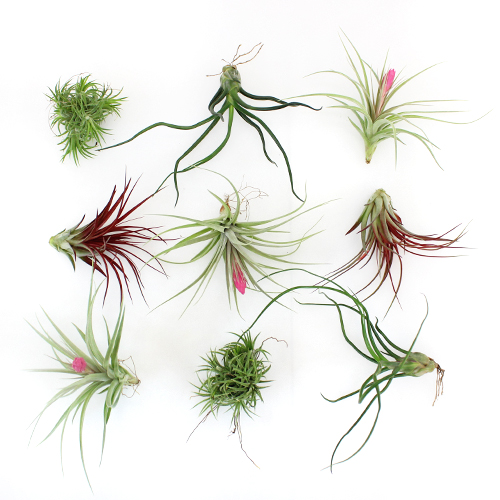 Bulk Assorted Air Plants for DIY Arranging