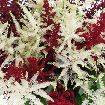 Red and White Festive Astilbe Flower November to April