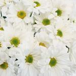 Bulk White Polaris Cushion Flowers