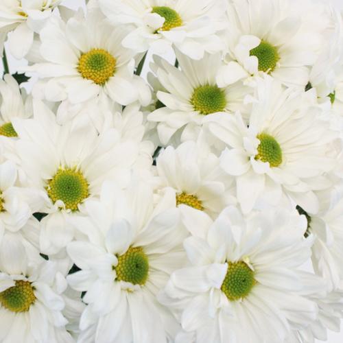 White Daisy Lime Center