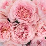 Garden Rose Delicate Pink
