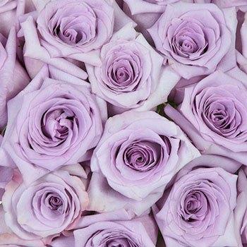 Lavender Frosting Rose