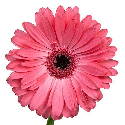 Gerbera Daisy Avenue Pink Flower Up close