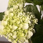 Green hydrangea DIY wedding flowers