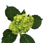 Baby Hulk Green Hydrangea Wholesale Flower FlatLay