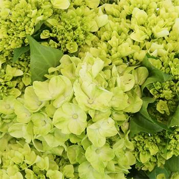 Baby Hulk Green Hydrangea Flower Up Close