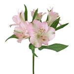 Baby Pink Peruvian Lilies Alstroemeria Stem