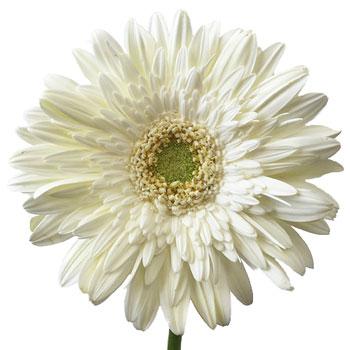 Gerbera Daisy Balance White Flower Up close