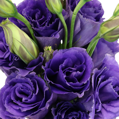 Hues of Purple Lisianthus Flower for October to May Delivery