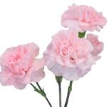 Ballet Pink Mini Carnation Stem