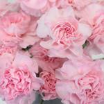 Ballet Pink Mini Wholesale Carnations Up close