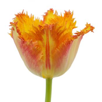 Ballroom Orange Frill Tulip Wholesale Flower Up close