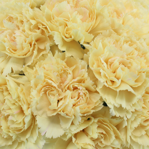 Banana Cream Champagne Wholesale Carnations Up close