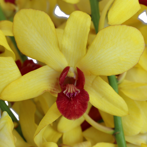 Banana Plum Loose Orchid Blooms