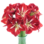 Bulk Amaryllis Red Flower