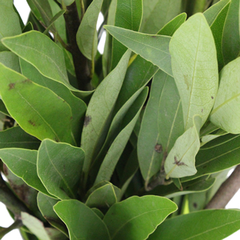 Fresh Cut Bay Leaf Herb for Flower Arranging