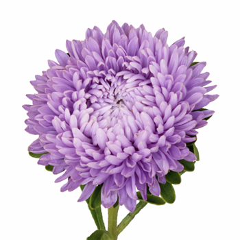 Beauty Aster Soft Purple Flower