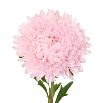 Beauty Asters Blush Pink Bulk Flower