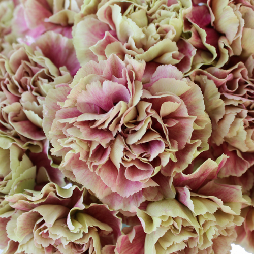 Bella Epoca Green and Pink Wholesale Carnations Up close