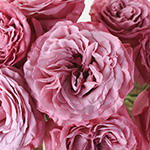 Berry Lace Garden Roses up close
