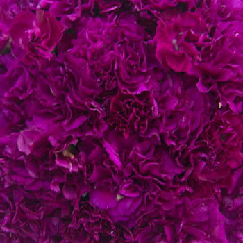 Berry Rush Wholesale Carnations Up close