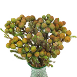 Bulk greenery berzillia baubles filler flowers for sale near me as delivery