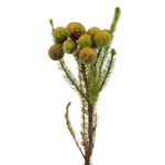 Single stem of fresh cut greens berzillia baubles filler flowers