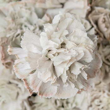 Hint of Gray Industrial Carnation Flowers