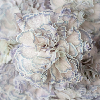 Industrial Blue Carnation Wholesale Flowers