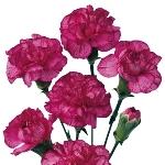 Bicolor Pink Mini Carnation Flowers Up Close