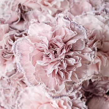 Industrial Pink Carnation Flower