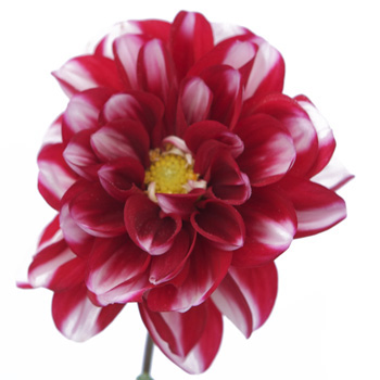 Bicolor Red and White Dahlia Flower