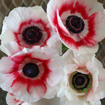 Mixed Red and White Fresh Cut Designer Anemones
