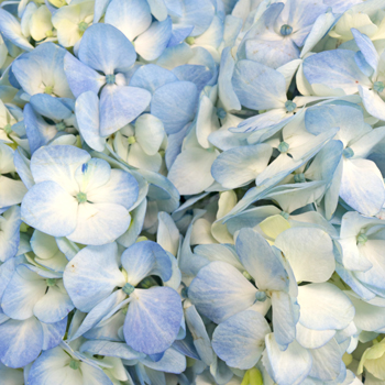 Bicolored Ivory and Blue Hydrangea Wholesale Flower Up close