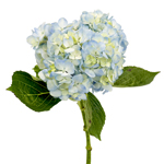 Bicolored Ivory Blue Hydrangea Stem View