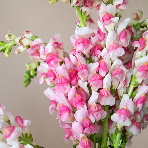 Snapdragon Bicolor Light Pink and White