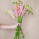Light Pink and White Snapdragon