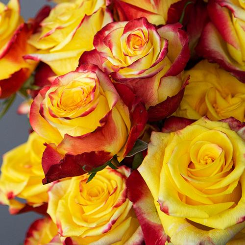 Bicolor Yellow Roses Fresh Cut