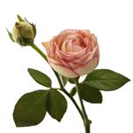 Biedermeier White and Pink Garden Rose Side Stem View