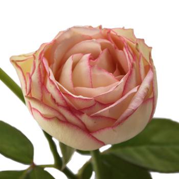 Bierdermeier White and Pink Garden Roses up close