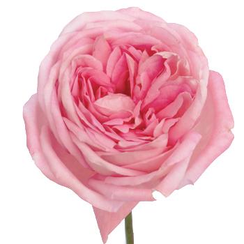 single stem bloom of bright pink voyage garden roses sold in bulk