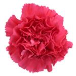 Bizet Hot Pink Carnation Flower Bloom