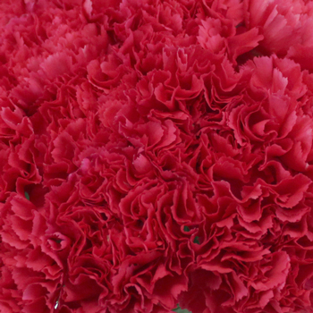 Bizet Hot Pink Wholesale Carnations Up close