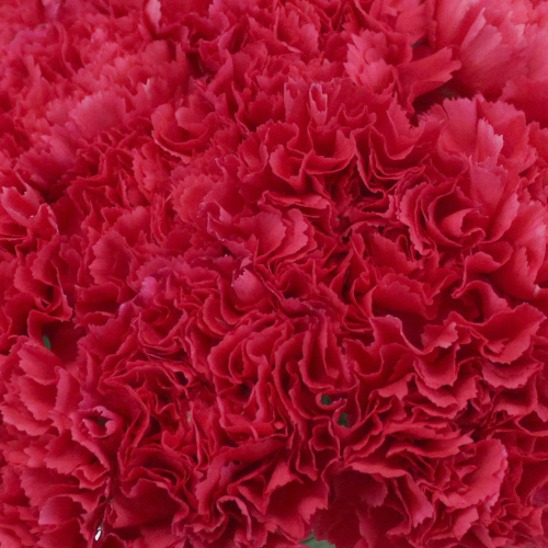 Hot Pink Carnation Flowers