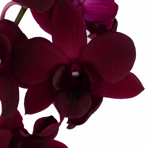 Burgundy Black Dendrobium Orchids