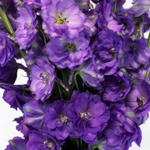 Delphinium Black Velvet Purple Wholesale Flower Up close