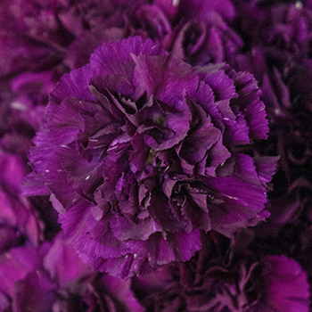 Blackish Purple Wholesale Carnations Up close