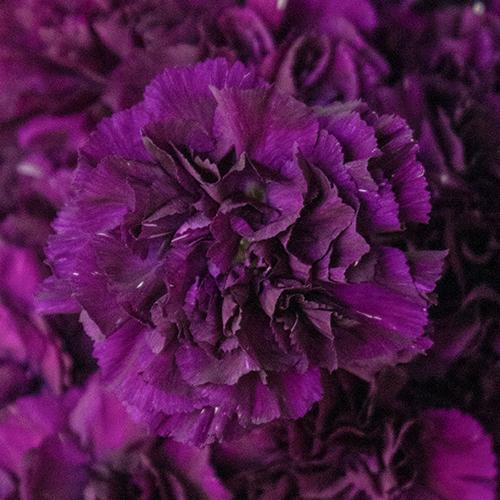 Blackish Purple Wholesale Carnations Up close