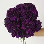 Blacking Purple Carnation Bunch in a hand