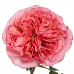 Bleeding Heart Garden Rose Stem